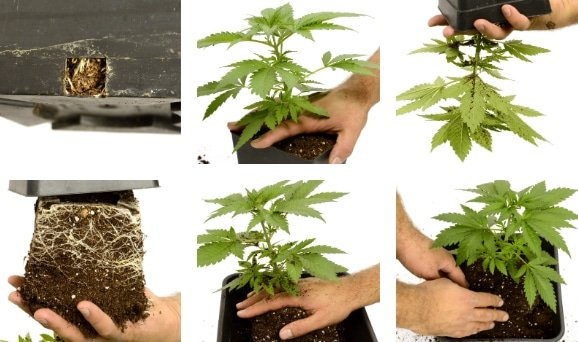 cannabis plants being transplanted