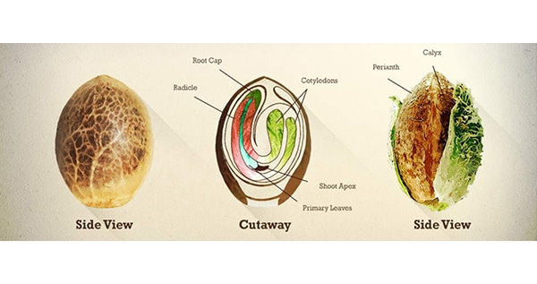 explanation of the cannabis seed