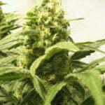 Cannabis water
