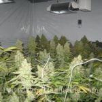 Casey Jones cannabis