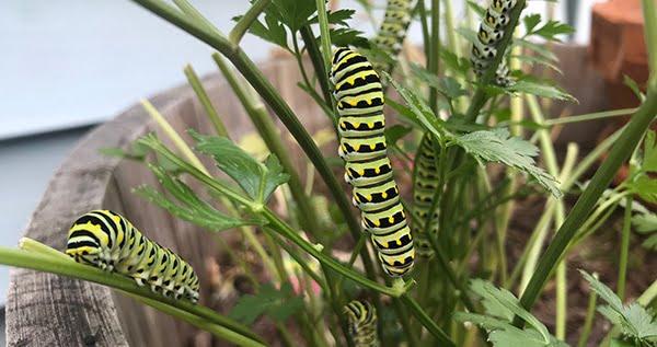 Caterpillar on weed plants