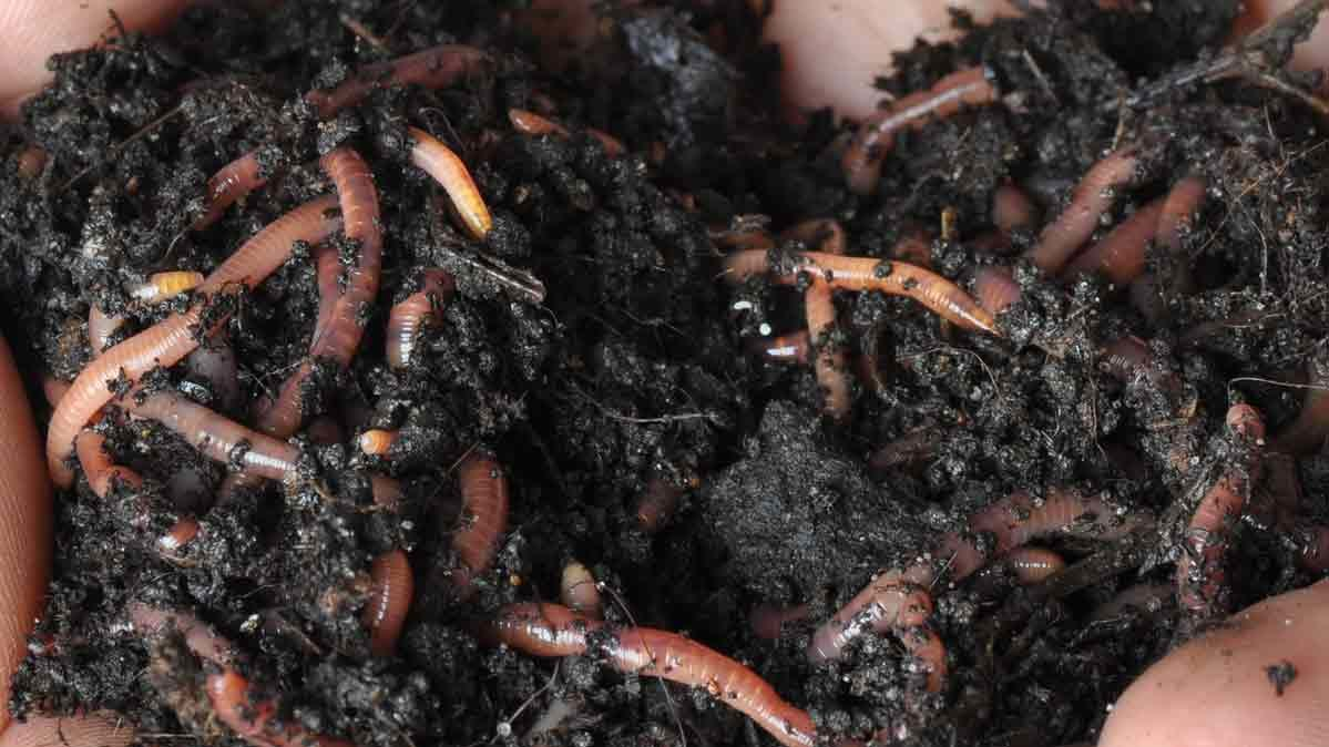 Earthworm castings