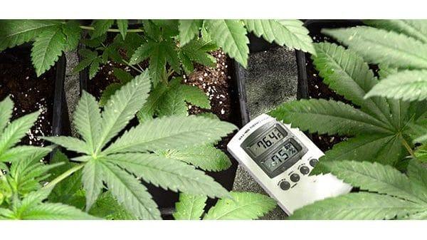 marijuana plants with hygrometer