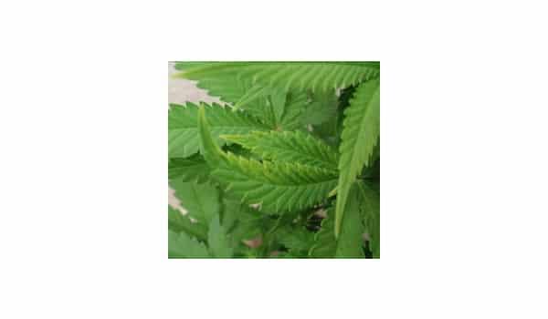 Cure tvm on marijuana