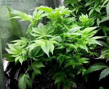 marijuana in pot