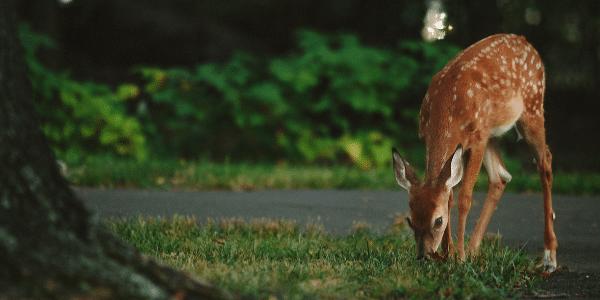Deer-Eating-Marijuana