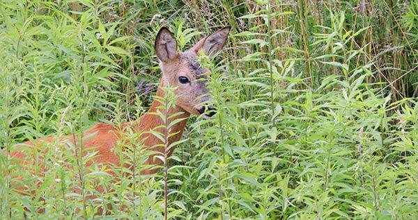 Deer on cannabis plants