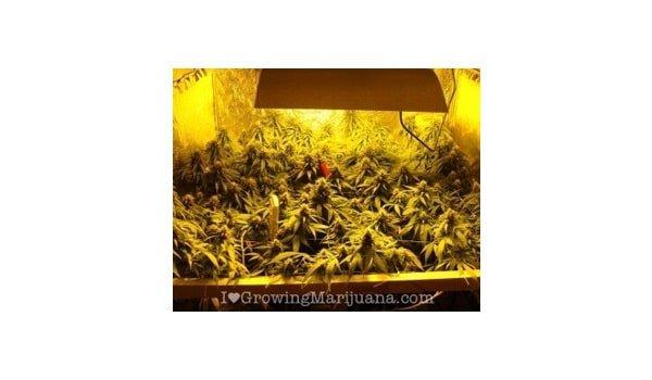 distance between light and plant marijuana