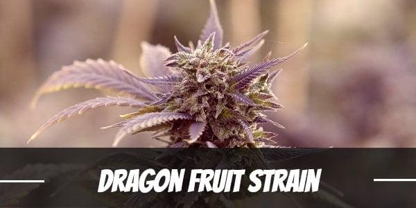 Dragon Fruit Strain
