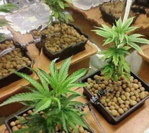ec tds levels hydro cannabis