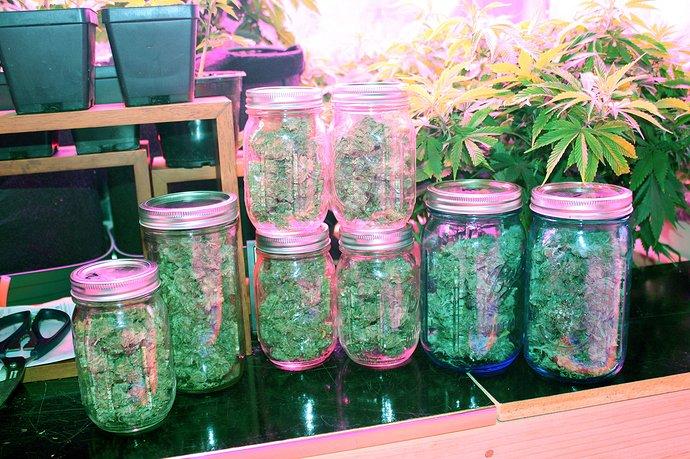 Dried cannabis buds in glass jars