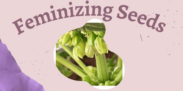 Feminizing Seeds