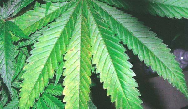 fix calcium deficiency outdoors marijuana