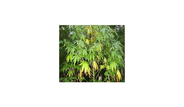 fix sick marijuana leaves