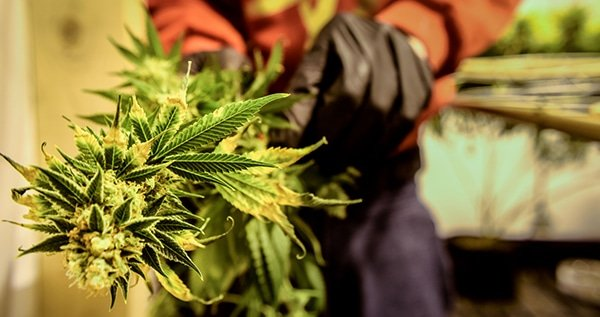 The flavonoids in cannabis