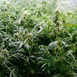 flowering week 8 hydro 1