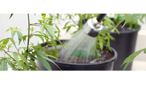 flushing marijuana plants