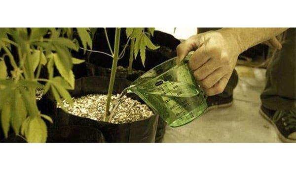 flushing weed plant