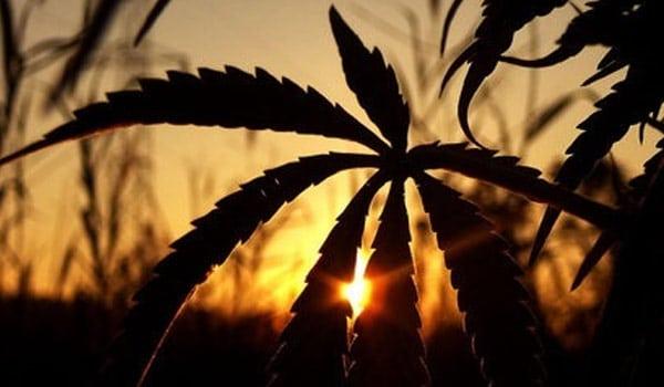 force flowering outdoor marijuana plants