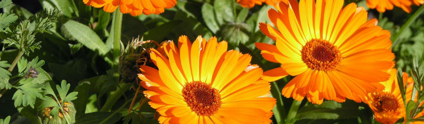fragrant plants to mask weed smell