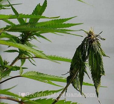 fusarium on cannabis