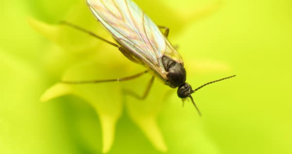 How to solve fungus gnats