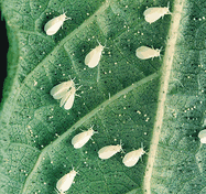 Get rid of whiteflies on cannabis plants