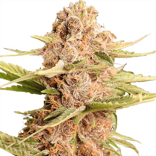 Indica dominant cannabis plant