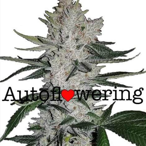 harvesting autoflower marijuana plants
