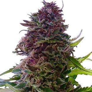 buy granddaddy purple seeds