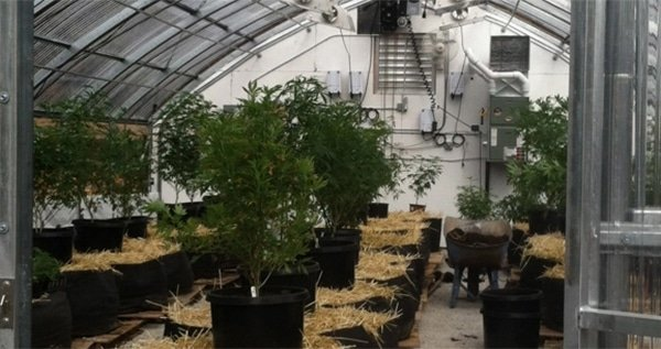 82c1395d5033 Growing Marijuana In A Greenhouse  The Definitive Guide - ILGM