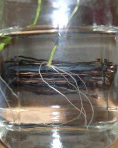 Growing cannabis clones in water