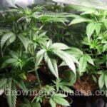 Marijuana indoor growing coconut