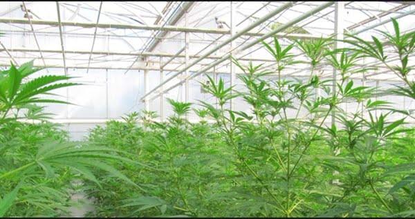 growing-weed-greenhouse