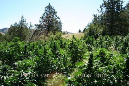Guerrilla cannabis growing
