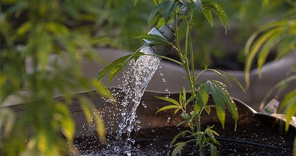 What does hard water do to cannabis