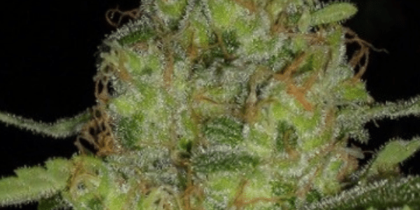 Harvest cannabis at the right time