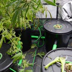 harvesting bubble buckets week 9 3