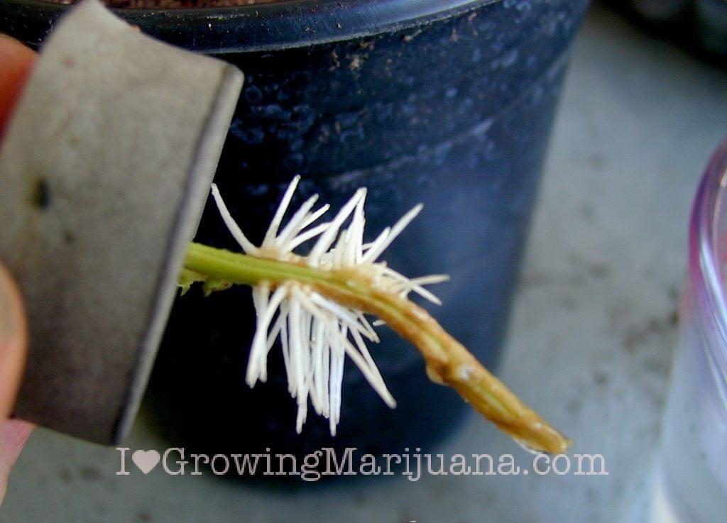 Healthy roots marijuana clones