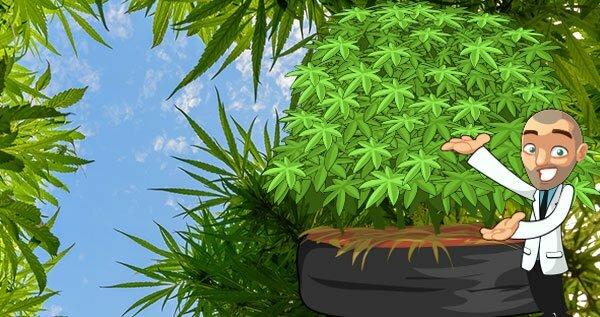 Highest Yielding Cannabis Strains