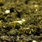 How to germinate marijuana seeds in soil