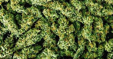 marijuana yield