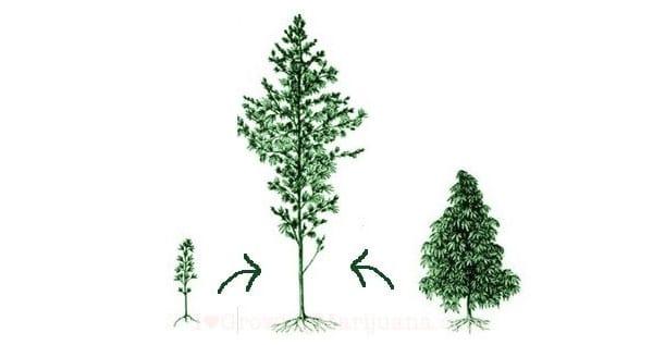 Hybrid Cannabis strain