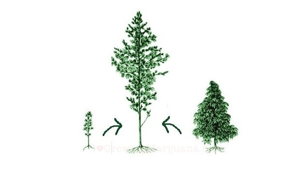 Hybrid plant cannabis