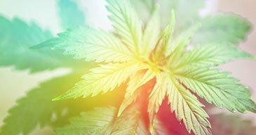 hybrid marijuana strains