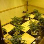 Hydro cannabis growing