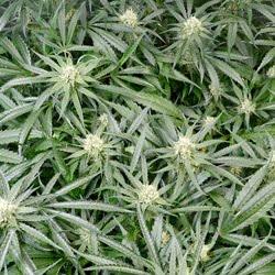 hydro flowering week 6 1