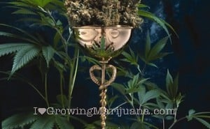 I love marijuana cannabis cup winners