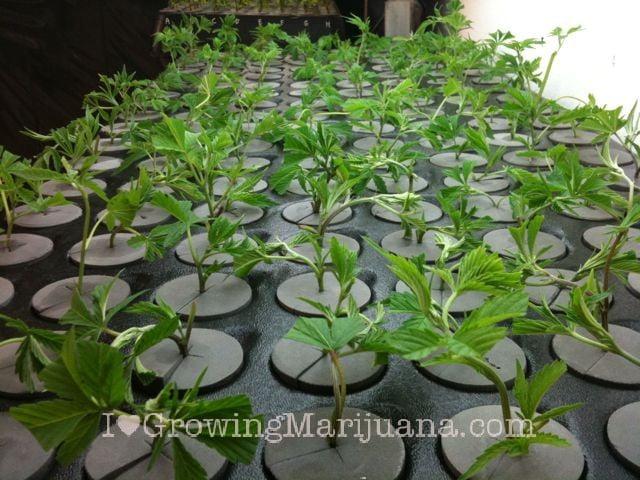 I love marijuana cuttings wont root