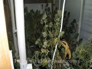 I love marijuana diseases